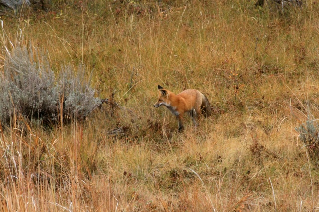 Colorado Rocky MountainFox