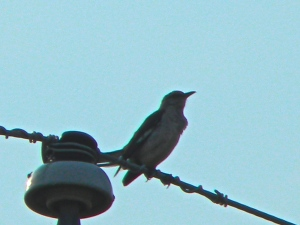 Sing to me little birdie—Listen to the Mockingbird