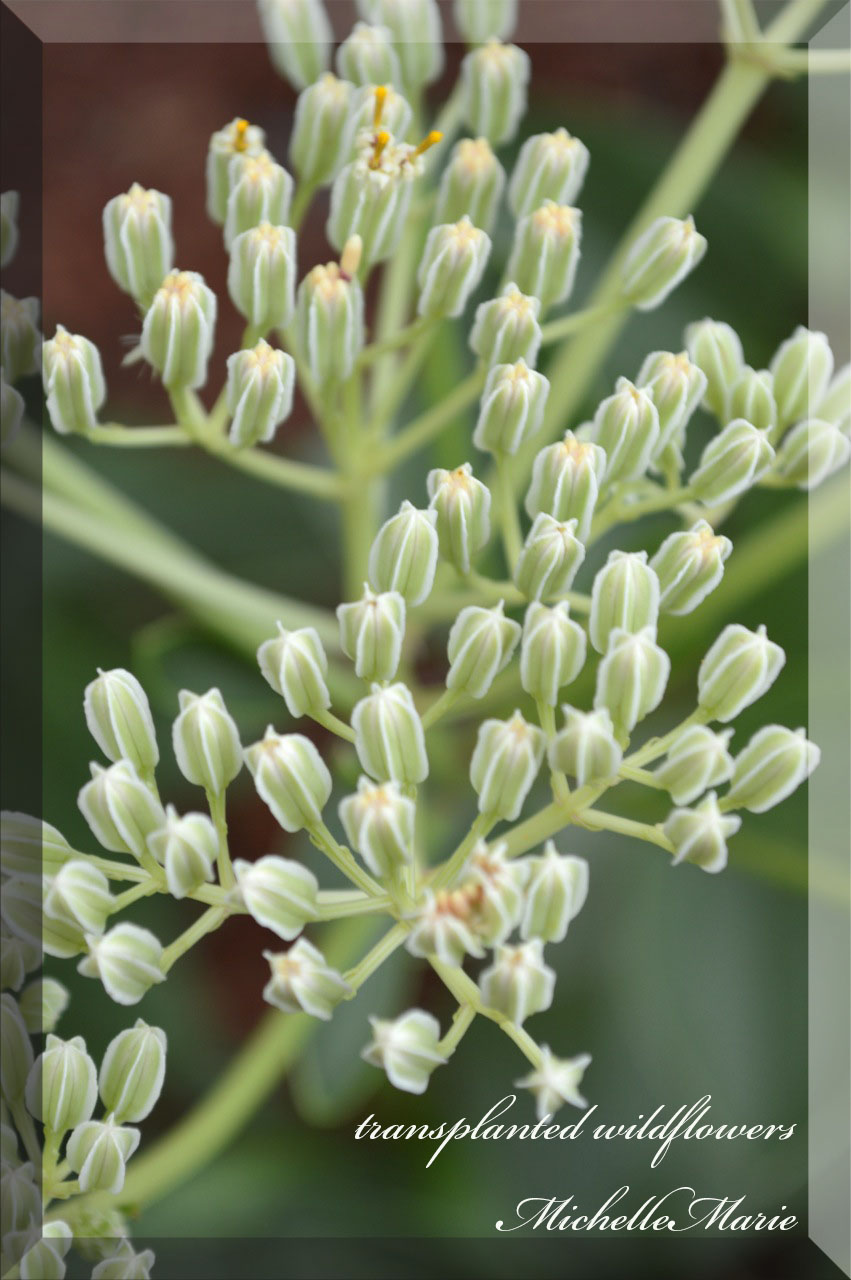 transplantedwildflowers