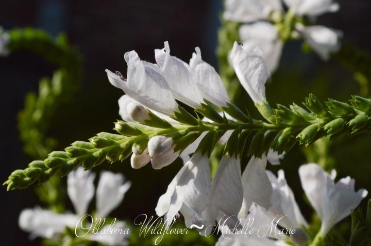 Oklahoma Wildflower (1 of 1)-2