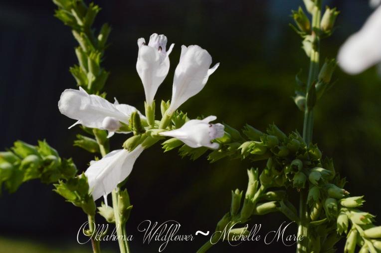 Oklahoma Wildflower (1 of 1)-3
