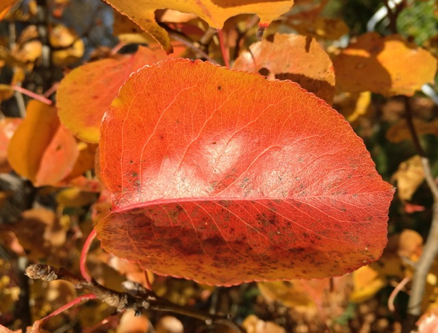 Red-Orange Pear leaf with golden leaves in background