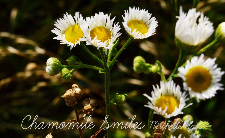 Chamomilesmiles