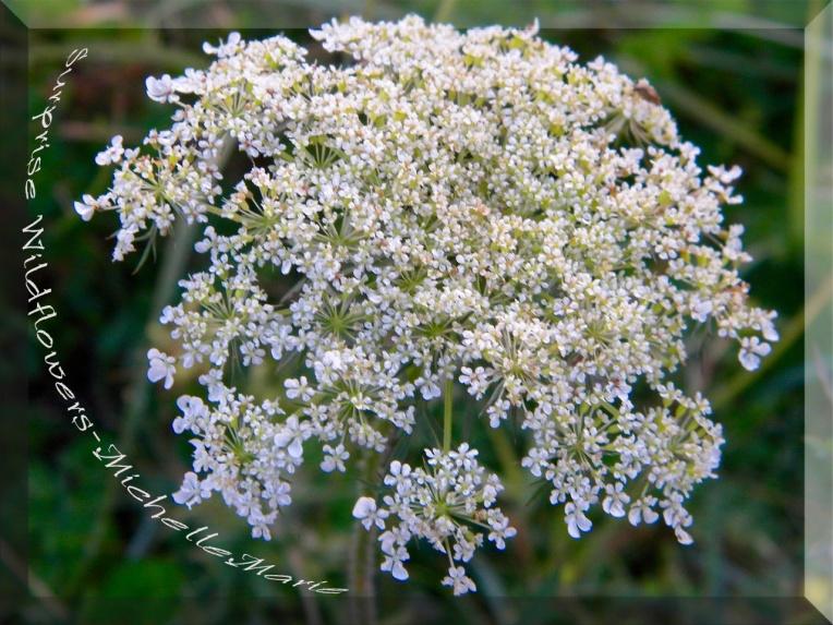 surprisewildflowers