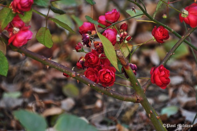 roses-in-december