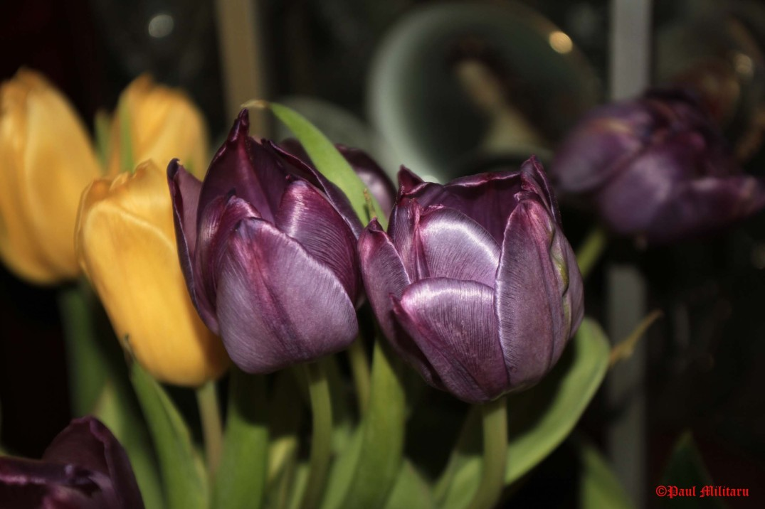 2 - yellow and purple tulips